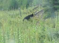 カナダの熊