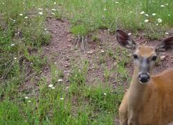 こちらを見る鹿