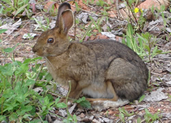 Blue Points Amethyst MIneのウサギ